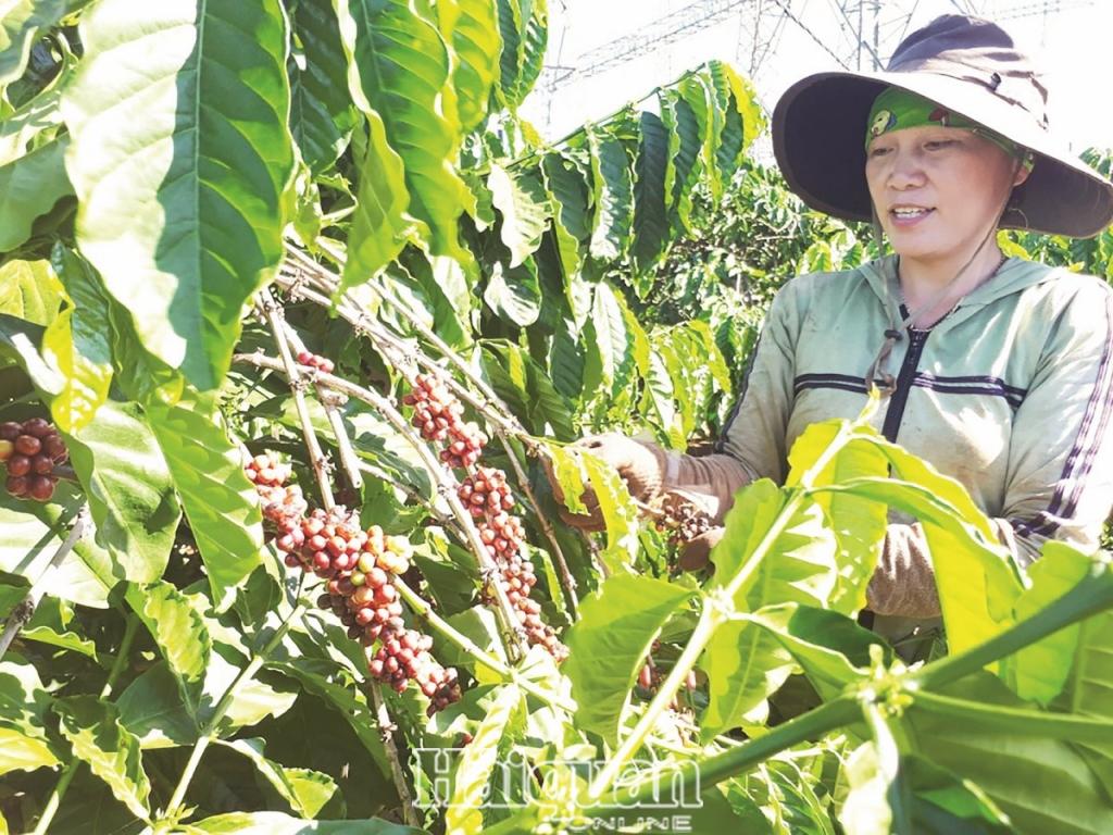 Giá trị xuất khẩu cà phê hiện đã giảm hơn 20% so với cùng kỳ năm trước. Ảnh: N.Thanh.