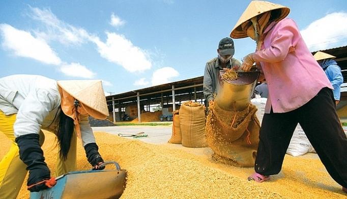 Hình ảnh nông dân đang thu hoạch lúa cho sản xuất gạo Việt xuất khẩu, dự báo giá gạo Thái tăng cao, cơ hội lớn cho gạo Việt