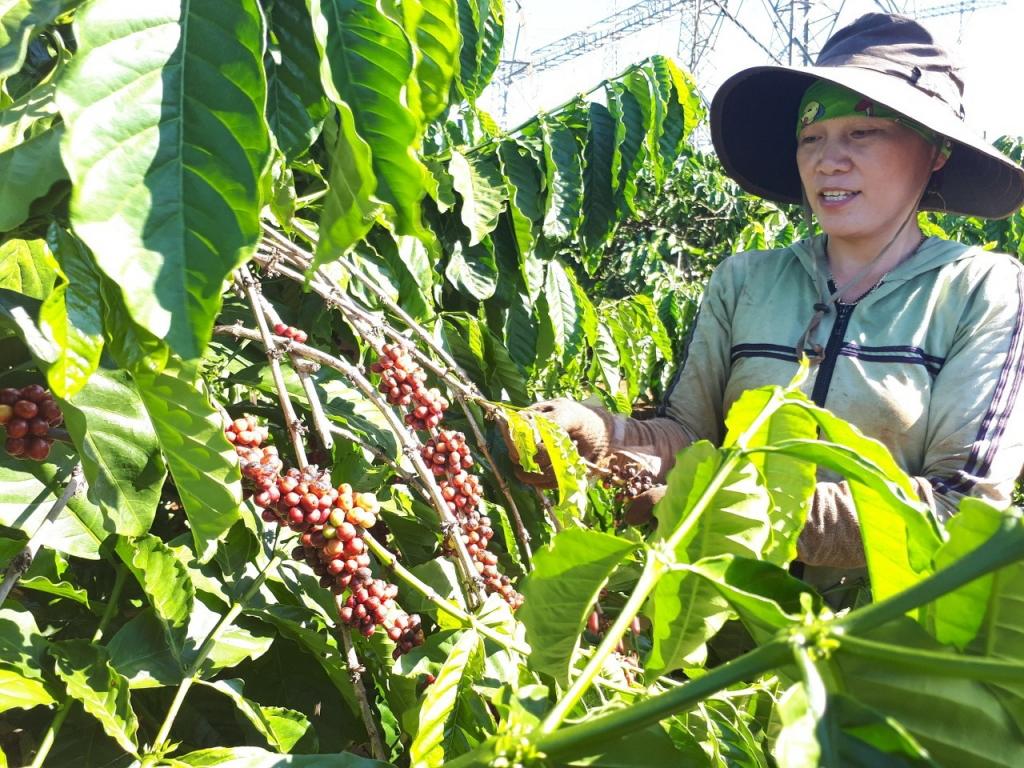 Giá xuất khẩu nhiều nông sản chủ lực tăng vùn vụt. Cà phê là một trong những mặt hàng xuất khẩu điển hình có giá xuất khẩu tăng trong 8 tháng đầu năm nay. Ảnh: Nguyễn Thanh