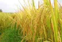 Vận chuyển hàng hóa là lúa gạo từ Bạc Liêu đi các nơi